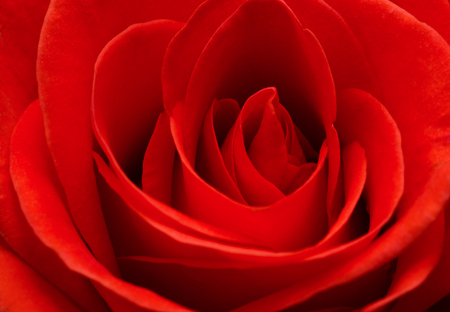 Close up macro of a red rose
