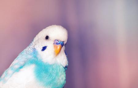 budgerigar: Blue budgerigar