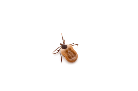 lurk: disease-carrier ticks Stock Photo