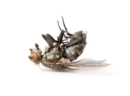 dead fly isolated on a white background Stock Photo