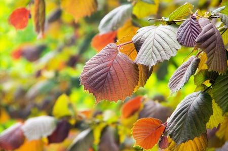 albero nocciolo: foglie colorate di nocciolo illuminati con il sole Archivio Fotografico
