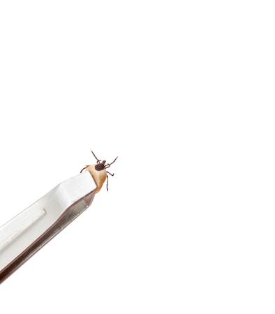 disease-carrier ticks Stock Photo