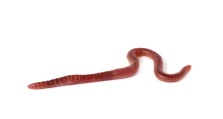 worm on a white background Stock Photo