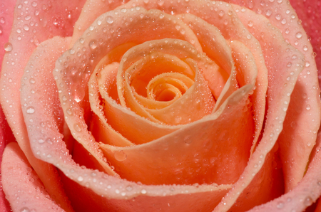 Macro shot of blooming pink roses with water drops on their petals Stock Photo