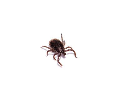 Disease-carrier ticks isolated on white Stock Photo