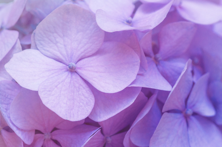 Pink Hydrangea background. Hortensia flowers surface.