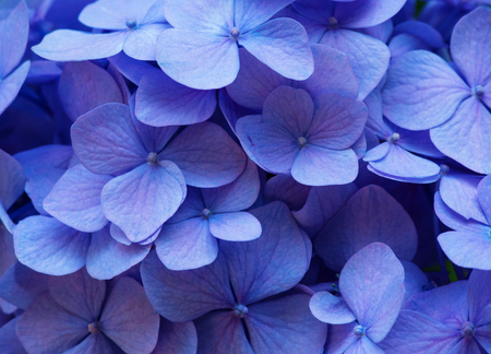 Blue Hydrangea background. Hortensia flowers surface.