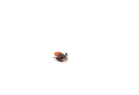 Macro of bloodsucker disease carrier tick isolated on white