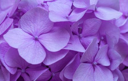 Pink Hydrangea background. Hortensia flowers surface. Stockfoto