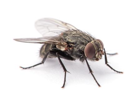 Fliege isoliert auf einem weißen Standard-Bild