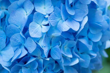 Blue Hydrangea background. Hortensia flowers surface.