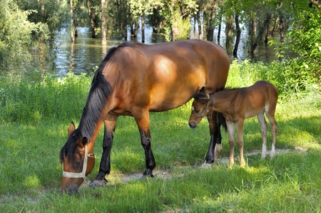 Brown horse with her foal grazing in a meadow  Stock Photo