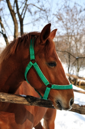 Portrait of a brown horse in the winter  Stock Photo
