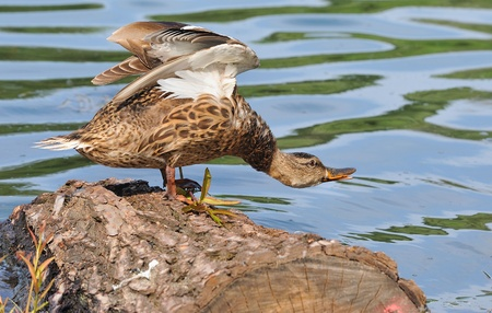 Wild duck flies off a log in a pond  Stock Photo