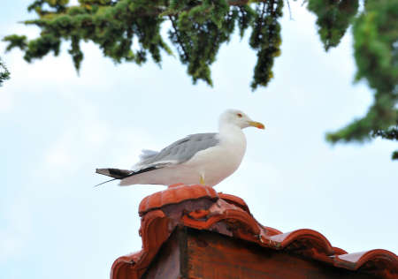 Ivory gull sits on the roof