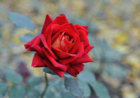 Beautifull red rose.