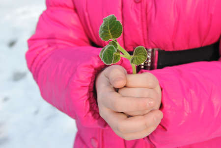 Green twig with small leaves in  hands of  girl  Stock Photo