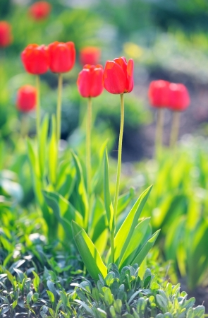 Red tulips in flowerbed. Stock Photo