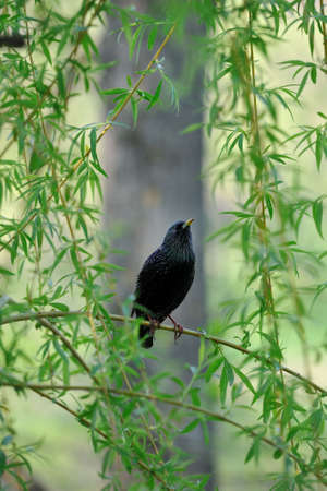 Young starling sitting on  branches of  willow in  spring. Stock Photo