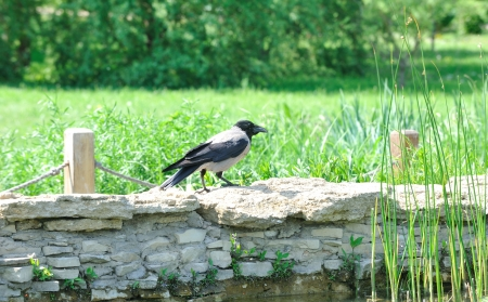 Jackdaw sits on a stone curb the pond  photo