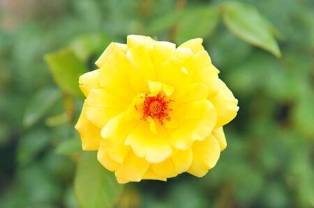 stark: Eine gelbe Blume geblasen stark gestiegen Lizenzfreie Bilder