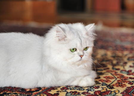 White cat lying on the carpet. photo