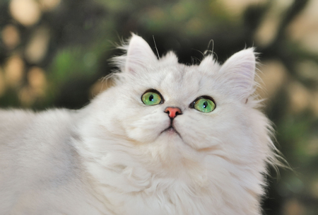 Portrait of green-eyed white cat looking up.