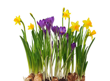 The first spring flowers daffodils and crocuses isolated on white. photo