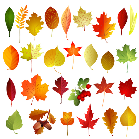 Set of autumn colored leaves . Vector elements . Illustration