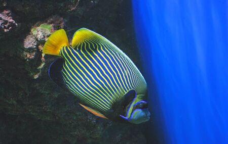 pomacanthus imperator: Imperatore angelfish  Archivio Fotografico