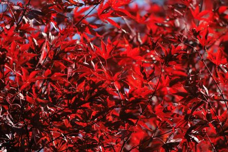 inmejorablemente: Lo ideal ser�a hojas rojas de arce en oto�o. Real color.