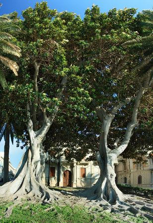 Ficus macrophylla, commonly known as the Moreton Bay Fig, is a large evergreen banyan tree of the Moraceae  that is best known for its beautiful buttress roots, which are also known for damaging municipal sidewalks. photo