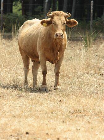 torrid: Red cow pasturing over torrid field