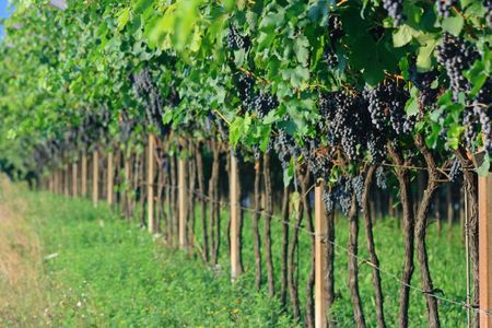 bunch up: Ripe grape bunches ready to be gathered. Extremely shallow DOF. Focus on a bunch up on the right Stock Photo