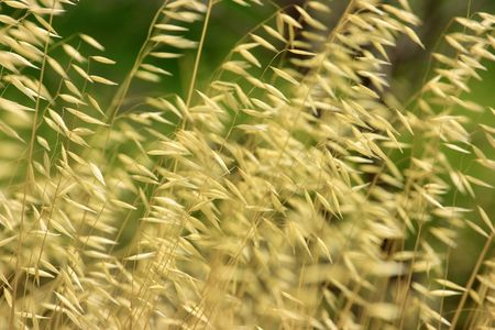 wild oats: Natural backround of wild dry cereal plant. Extremely shallow DOF Stock Photo