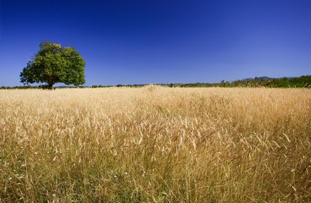 Field of ripe wheat with green tree against deep blue sky. Focus on the foreground. Stock Photo - 5515369