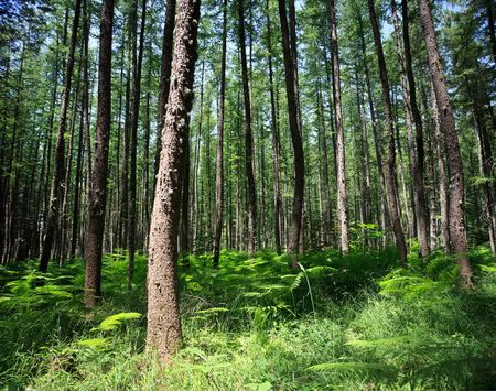 Wide-angle shot of pine forrest with fern underneath trees Stock Photo - 5696370