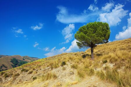 Idyllic landscape of a lonely pine tree on torrid hills of Calabria