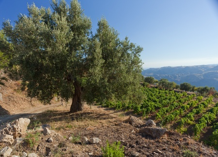 olive farm: Olive tree against calabrian hills with vineyards under blue sky