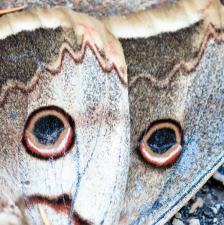 buckeye: Bottom part of a dead buckeye butterfly