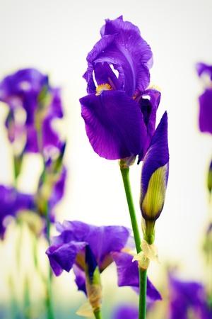 dalmation: Dalmation iris blossom in the garden