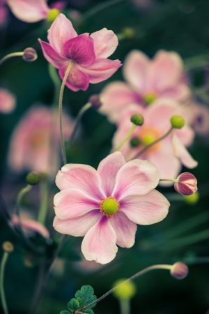 Japanese anemone blossoming in autumn Stock Photo