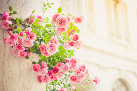 Roses climbing on column in italian patio, romantic vintage toned with copy space