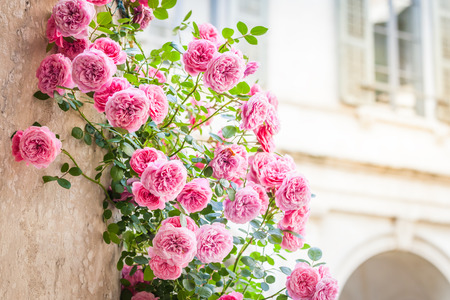 Roses climbing on column in italian patio, romantic vintage toned with copy space, focus on the bottom part Stock Photo