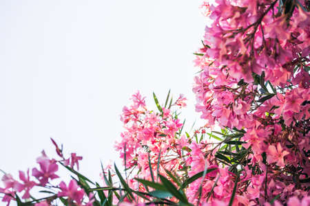 Pink oleander against bright sky with copy space. Focus on the right