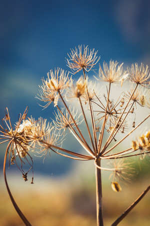 Wild dry dill with cyme inflorescence, natural high-res image with shallow DOF