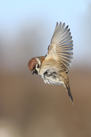 flapping: Sparrow flying and flapping wing Stock Photo
