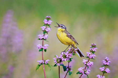 bird song: bird the yellow Wagtail sings the song on a meadow in summer