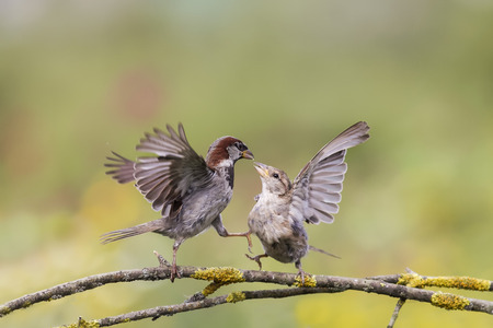 pair of birds sparrows fighting passionately