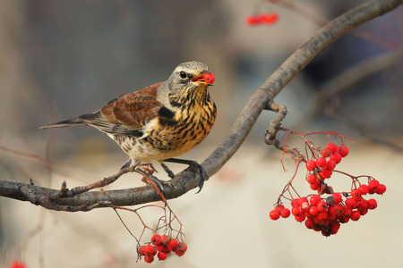 the speckled Thrush bird eating delicious ripe red Rowan berries on a branch in the Park Standard-Bild